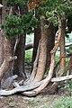Pinus albicaulis Iron MountainCA1.jpg