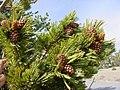 Pinus albicaulis Sniezko1.jpg