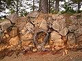 Pinus canariensis (Garafía) 04 ies.jpg