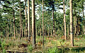 Pinus echinata thinned forest 1.jpg