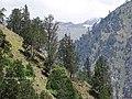 Pinus gerardiana India20.jpg
