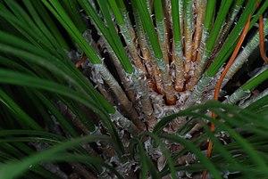 Pinus palustris - Pinus palustris