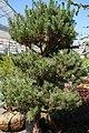 Pinus sylvestris 20zz.jpg