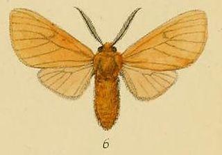 <i>Metarctia</i> genus of insects