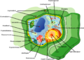 Plant cell structure Icelandic text.png
