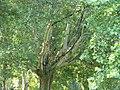 Platany Hlohovec - Plane-trees Hlohovec, Slovakia - panoramio (6).jpg