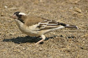 White-browed sparrow-weaver - Image: Plocepasser mahali Etosha National Park, Namibia juvenile 8