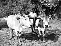 Plowing with mission oxen, Bihar, India, 1959 (16796288079).jpg