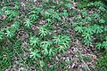 Podophyllum peltatum (mayapple) (Newark, Ohio, USA) 4 (49082654108).jpg
