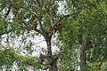 Pohon Rambai.jpg