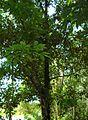 Pohon cempedak (3).JPG