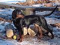 PolishScenthound-TREMA-OdGajowegoMaruchy-wl.KatarzynaBinka.jpg