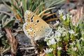 Polyommatus golgus.jpg