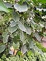 Polyscias guilfoylei - Copenhagen Botanical Garden - DSC07442.JPG