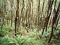 Pomaderris aspera forest - Wilsons Promontory December 1997.jpg