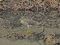 Pond heron 05.jpg