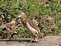 Pond herons.jpg