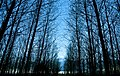 Poplar-silhouettes.jpg