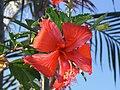 Poppy flower o amapola - panoramio.jpg