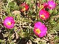 Portulaca grandiflora in Sedovo 003.jpg