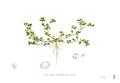 Portulaca oleracea Blanco1.164.png