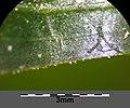 Potamogeton perfoliatus sl11.jpg