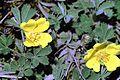 Potentilla arenaria0 eF.jpg
