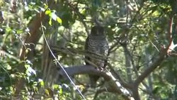 File:Powerful Owl aug08.ogv