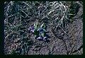 Primula cusickiana plant in SW Idaho 4.jpg