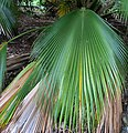 Pritchardia martii (5250247406).jpg