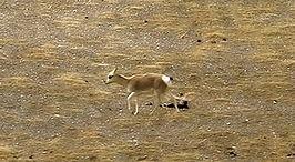 Kekexili: Mountain Patrol - Wikipedia