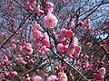 Prunus mume in Kyoto Imperial Palace.jpg