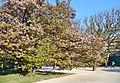 Prunus serrulata 'Hisakura' in the Jardin des Plantes of Paris 004.jpg