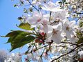 Prunus speciosa, -Shinjuku Gyoen, -ca. April 2009 a.jpg