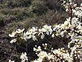 Prunus spinosa sl7.jpg