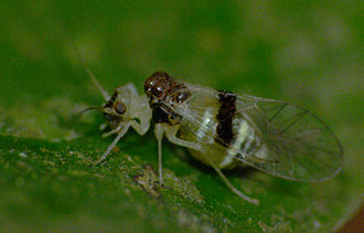 Psocodea - An unidentified bark louse