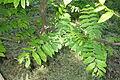 Pterocarya fraxinifolia - Arnold Arboretum - DSC06841.JPG