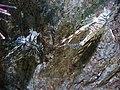 Pterois volitans.404 - Aquarium Finisterrae.jpg