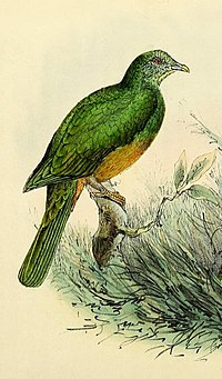 Ptilinopus bernsteinii.jpg