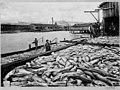 Puget Sound salmon catch, ca 1900 (MOHAI 6875).jpg