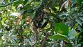 Purple rumped Sunbird (Leptocoma zeylonica) building its nest 01.JPG