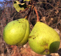 Pyrus-sicanorum-fruits.png