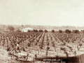 Queensland State Archives 2516 Paul Beks vineyard at Roma c 1898.png