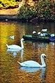 Queensmere Swans, Nov 2011 -1 (6340018613).jpg