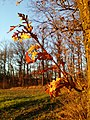 Quercus cerris sl5.jpg