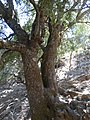 Quercus coccifera okaz drzewiasty.jpg