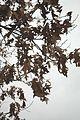 Quercus pagoda (23851530410).jpg