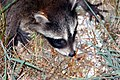 Raccoon, Baby (179494281).jpg