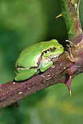 Raganella italiana (Hyla intermedia) - Italian tree frog, Milano, Italia, 09.2018 (9).jpg