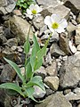 Ranunculus amplexicaulis 2.JPG